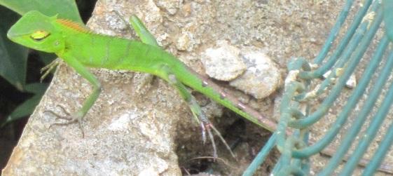 Bild-4-grüne-Echse-Emmy