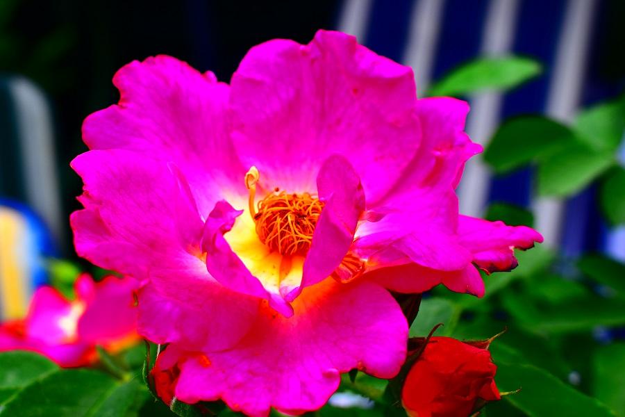 Rose_0333